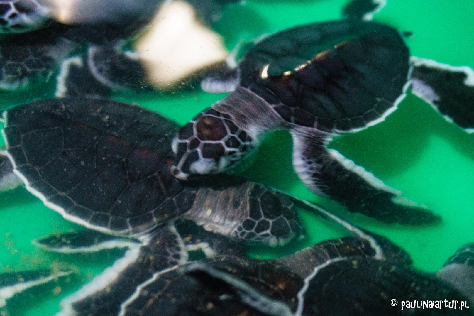 Małe żółwie w Ras Al Had