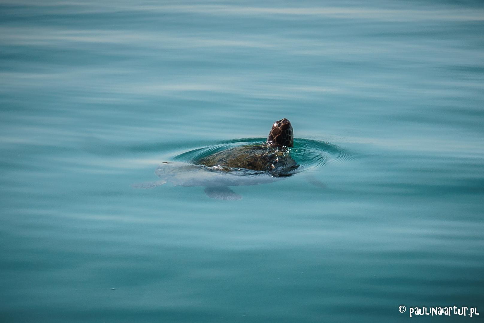 Żółw łapiący powietrze